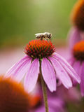 Bee on the echinacea Royalty Free Stock Images