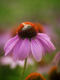 Bee on the echinacea Stock Image
