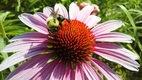 Bee on Echinacea Flower in Bright Sunlight in Jersey City, NJ. Stock Images