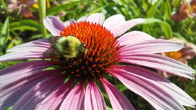 Bee on Echinacea Flower in Bright Sunlight in Jersey City, NJ. Stock Image