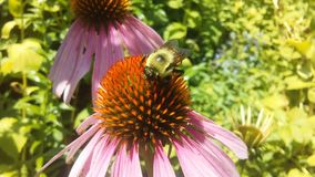 Bee on Echinacea Flower in Bright Sunlight in Jersey City, NJ. Stock Photos