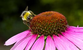 Bee on echinacea flower Stock Photos