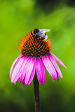 Bee on Echinacea flower Royalty Free Stock Photos