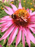 Bee on an echinacea flower Royalty Free Stock Images