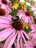 Bee on an echinacea flower Stock Image