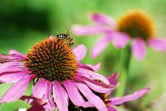 Bee on the echinacea flower Royalty Free Stock Photography
