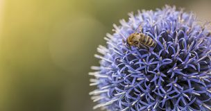 Bee on Echinops. Or Globe Thistle. Green Blurry Background. Copy Space royalty free stock photos