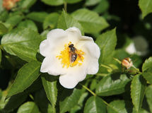 Bee on eglantine blooms Royalty Free Stock Photos