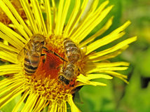 Bee on an elecampane Stock Images