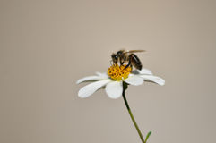 Bee. Is engaged in business Royalty Free Stock Images