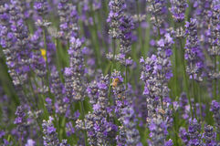 A bee enjoying lavender plant, field lilac. Lavender lilac flowers in a field with the sun shining down (lavandula angustifolia Royalty Free Stock Images