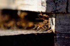 bee. At the entrance of the hive Stock Photography
