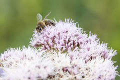 Bee on epatorium purpureum Royalty Free Stock Images