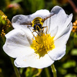Bee. An european bee on flower stock image