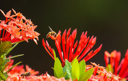 Bee And Exora Flower Stock Photography