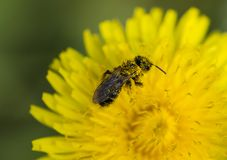 A hungry bee at lunch. A bee exploring the dandelion flower, collecting the much-needed pollen Royalty Free Stock Images