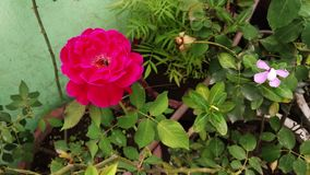 Bee extracting nectar in beautiful rose, bee working, flower rose, red rose, bug on flower stock footage