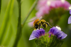 Bee. Extracting pollen in spring Stock Photos