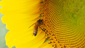 Bee extracting pollen Royalty Free Stock Photo