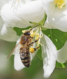 Bee extracts nectar. The bee extracts nectar and pollen stock images