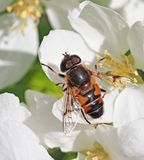 Bee extracts nectar Royalty Free Stock Images