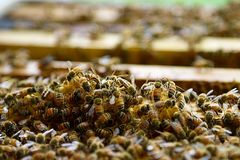 Bee farming. Busy bees working for their queen in the artificial beehive Royalty Free Stock Photos