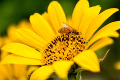 Bee feasting on sunflower Stock Image