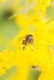 Bee feeding Stock Photography