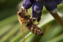 Bee feeding on blue flower Royalty Free Stock Image