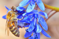 Bee feeding on blue flower. In spring time stock images