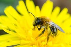 Bee feeding on dandelion Royalty Free Stock Photos