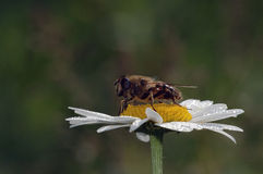 Bee feeding on flower. Closeup of a bee, feeding as it perches on a flower blossom Royalty Free Stock Photo