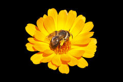 Bee feeding on a flower Royalty Free Stock Photography