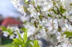 Bee feeding Royalty Free Stock Image