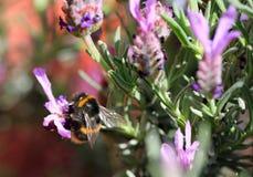 A bee feeding on a lavendar flower royalty free stock image
