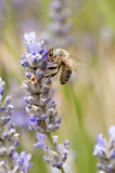 Bee. A bee is feeding on lavender in the garden Stock Photography