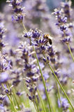 Bee. A bee is feeding on lavender in the garden Stock Image