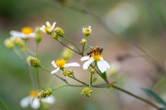 Bee feeding on a Matilija Poppy stock photo