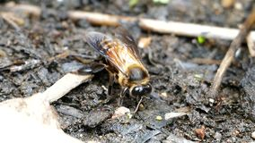 Bee feeding mineral on ground stock video footage
