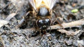 Bee feeding mineral on ground stock footage