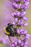 A bee on a purple flower stock photography
