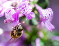 Bee feeding from ribbon bush Royalty Free Stock Images