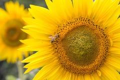 Bee, feeding on a sunflower Stock Photos