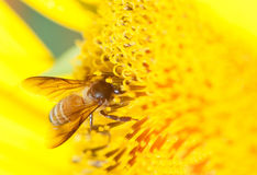 Bee feeding on sunflower Stock Image