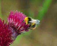 Bee feeding on thistle. A bee  on a thistle flower, head buried in the flower Royalty Free Stock Photo