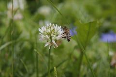 Bee feeding on white flower in garden in summer stock images