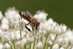 Bee feeding Stock Images