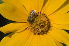 Bee feeding on yellow flower. Image of yellow flower with bee Royalty Free Stock Images