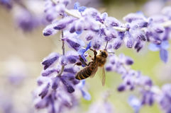 Bee feeds on lavender. A bee is busy feeding on lavender Royalty Free Stock Image