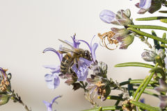 A bee. Feeds on nectar of rosemary flowers Stock Photo